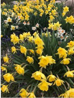 Daffodils photo of flowers